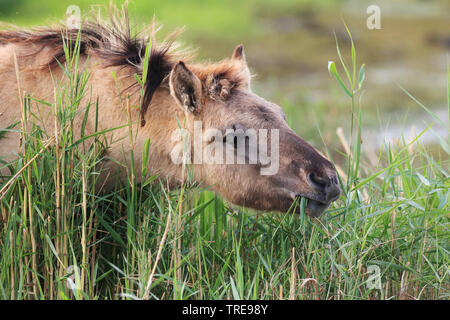 Konik horse (Equus przewalskii f. caballus), foal grazing, Netherlands, Flevoland, Oostvaardersplassen - Stock Photo