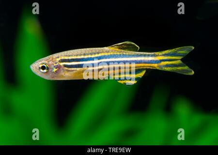 Zebra danio, Zebrafish (Brachydanio rerio, Danio rerio), swimming, side view - Stock Photo