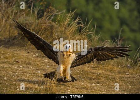 Bartgeier, Bart-Geier, Laemmergeier, Laemmer-Geier (Gypaetus barbatus), landend, Italien   Lammergeier, Bearded Vulture (Gypaetus barbatus), landing, - Stock Photo