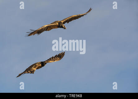 Bartgeier, Bart-Geier, Laemmergeier, Laemmer-Geier (Gypaetus barbatus), zwei fliegende Bartgeier, Seitenansicht, Italien   Lammergeier, Bearded Vultur - Stock Photo