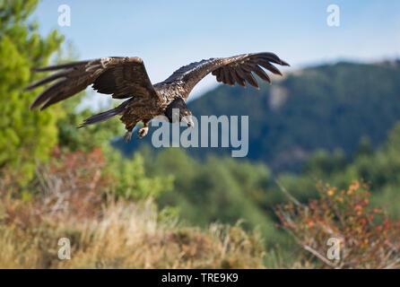 Bartgeier, Bart-Geier, Laemmergeier, Laemmer-Geier (Gypaetus barbatus), Jungvogel im Flug, Italien   Lammergeier, Bearded Vulture (Gypaetus barbatus), - Stock Photo