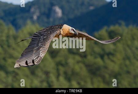 Bartgeier, Bart-Geier, Laemmergeier, Laemmer-Geier (Gypaetus barbatus), fliegend, Seitenansicht, Italien   Lammergeier, Bearded Vulture (Gypaetus barb - Stock Photo