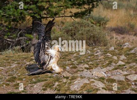 Bartgeier, Bart-Geier, Laemmergeier, Laemmer-Geier (Gypaetus barbatus), Jungvogel, Italien   Lammergeier, Bearded Vulture (Gypaetus barbatus), juvenil - Stock Photo