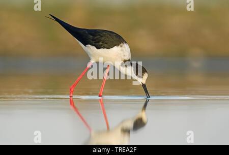 black-winged stilt (Himantopus himantopus), on the feed, Europe - Stock Photo