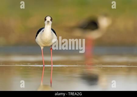 black-winged stilt (Himantopus himantopus), in shallow water, Europe - Stock Photo