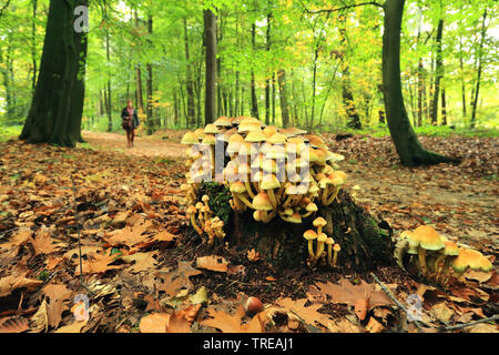 sulphur tuft, sulfur tuft, clustered woodlover, sulfur cap (Hypholoma fasciculare, Nematoloma fasciculare), in forest, Netherlands - Stock Photo
