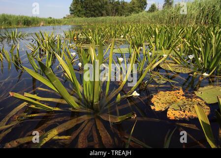 crab's-claw, water-soldier (Stratiotes aloides), blooming, Netherlands, Overijssel, Weerribben-Wieden National Park - Stock Photo