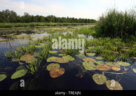crab's-claw, water-soldier (Stratiotes aloides), on water with waterlilies, Netherlands, Overijssel, Weerribben-Wieden National Park - Stock Photo
