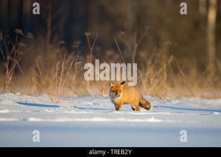 Rotfuchs, Rot-Fuchs (Vulpes vulpes), im Schnee am Waldrand, Tschechien | red fox (Vulpes vulpes), in snow at forest edge, Czech Republic | BLWS521828. - Stock Photo