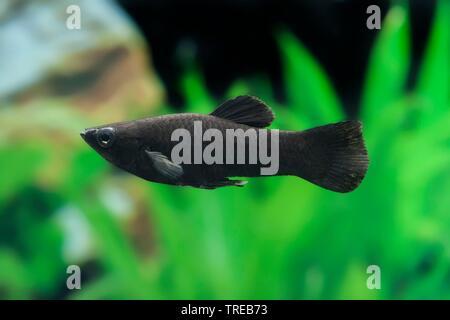 Mexican Molly, Marbled molly, Liberty Molly (Poecilia sphenops, Mollienesia sphenops), breeding form Black Molly - Stock Photo