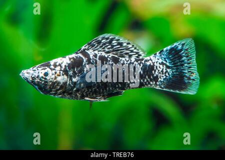 Mexican Molly, Marbled molly, Liberty Molly (Poecilia sphenops, Mollienesia sphenops), swimming, side view - Stock Photo
