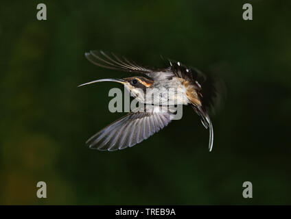 scale-throated hermit (Phaethornis eurynome eurynome), in flight, Brazil - Stock Photo