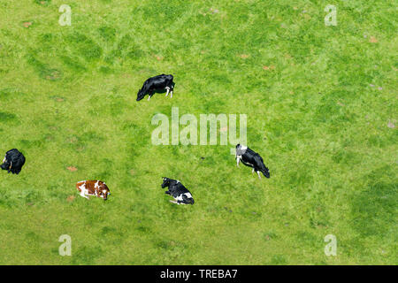 domestic cattle (Bos primigenius f. taurus), domestic cattles on a pasture, aerial photo, Germany, Schleswig-Holstein, Northern Frisia - Stock Photo