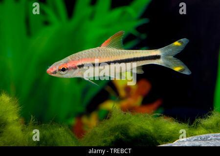 Denison barb, Denison's barb, Miss Kerala, red-line torpedo barb, roseline shark (Sahyadria denisonii, Crossocheilus denisonii, Puntius denisonii), swimming, side view - Stock Photo