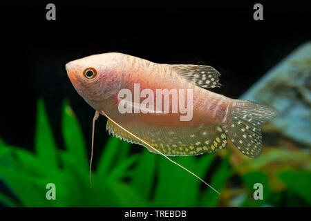 Cosby gourami, three spot gourami, blue gourami (Trichogaster trichopterus Disco), breeding form Disco - Stock Photo
