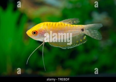 Cosby gourami, three spot gourami, blue gourami (Trichogaster trichopterus Gold), breeding form Gold - Stock Photo
