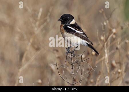 Siberian stonechat, Asian stonechat (Saxicola maurus), male, Uzbekistan - Stock Photo