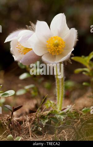 Fruehlings-Kuechenschelle; Fruehlingskuechenschelle (Pulsatilla vernalis), zwei Blueten, Schweiz, Wallis | spring anemone, pasque flower (Pulsatilla v - Stock Photo