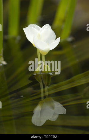 crab's-claw, water-soldier (Stratiotes aloides), flower with mirror image, Netherlands, Limburg - Stock Photo