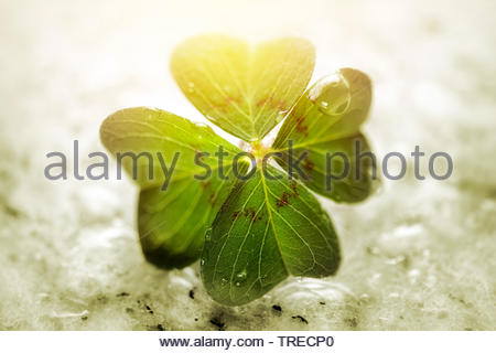 four-leafed clover (Oxalis tetraphylla, Oxalis deppei), Iron Cross, lucky clover, Germany - Stock Photo