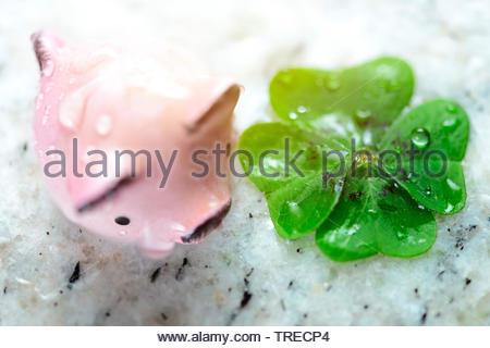 four-leafed clover (Oxalis tetraphylla, Oxalis deppei), lucky clover, lucky pig, Germany - Stock Photo
