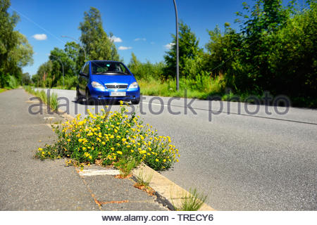 common bird's-foot trefoil (Lotus corniculatus), yellow-blooming on the pavement at a road, Germany, Hamburg - Stock Photo