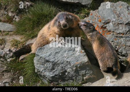 Alpenmurmeltier, Alpen-Murmeltier (Marmota marmota), mit einem Jungtier an einem Stein, Oesterreich, Hohe Tauern Nationalpark   alpine marmot (Marmota - Stock Photo