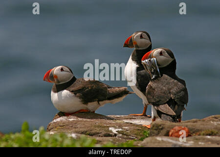 Atlantic puffin, Common puffin (Fratercula arctica), troop perching on a rock, one with sand lances in the bill, United Kingdom, England, Northumberland, Farne Islands - Stock Photo