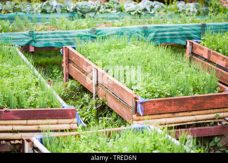 Planting coriander and scallion or spring onion growing in pot plantation vegetable garden - Stock Photo