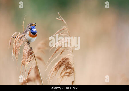 White-spotted Bluethroat (Luscinia svecica cyanecula), singing male, Netherlands, South Holland