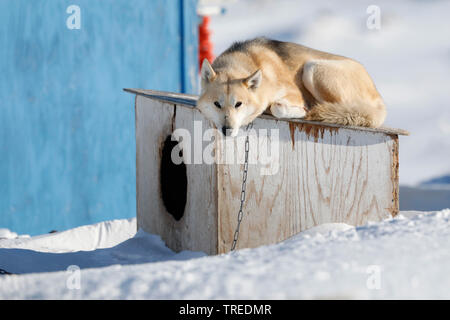 Alaskan Husky (Canis lupus f. familiaris), liegt auf seiner Hundehuette, Groenland, Ilulissat | Alaskan Husky (Canis lupus f. familiaris), lying on th - Stock Photo