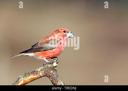 parrot crossbill (Loxia pytyopsittacus), male on a pine branch, Netherlands - Stock Photo