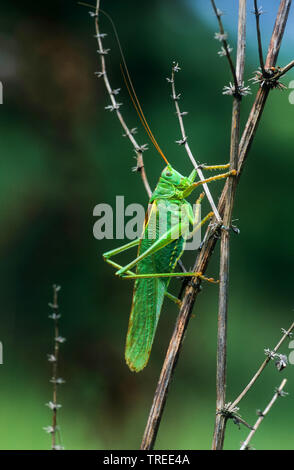 Great Green Bush-Cricket, Green Bush-Cricket (Tettigonia viridissima), male, Germany - Stock Photo