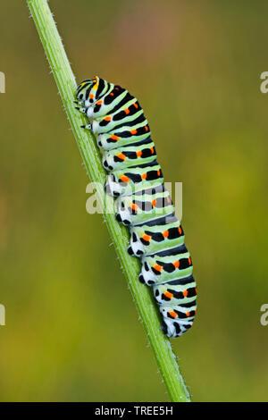 Old World Swallowtail, common yellow swallowtail (Papilio machaon), caterpillar, Germany