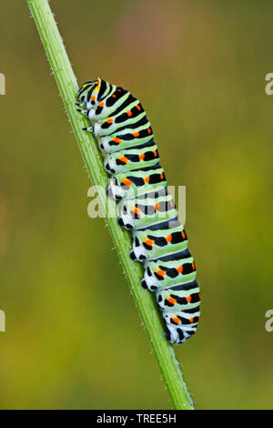 Schwalbenschwanz (Papilio machaon), Raupe, Deutschland | Old World Swallowtail, common yellow swallowtail (Papilio machaon), caterpillar, Germany | BL - Stock Photo