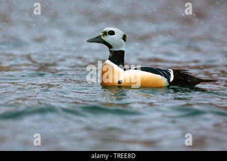 Steller's eider (Polysticta stelleri), male in water, Norway - Stock Photo