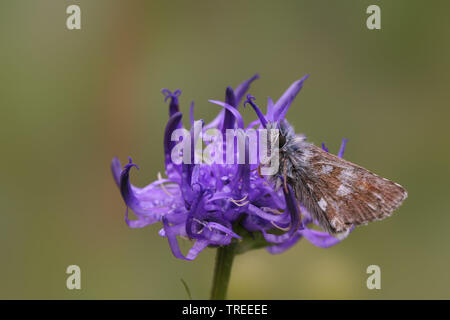 dusky grizzled skipper (Pyrgus cacaliae), on rampion, Netherlands - Stock Photo