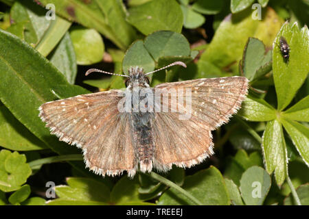 dusky grizzled skipper (Pyrgus cacaliae), sits on a leaf, Netherlands - Stock Photo