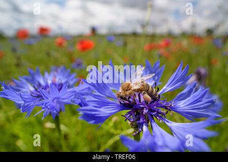 Europaeische Honigbiene, Westliche Honigbiene, Gemeine Honigbiene (Apis mellifera mellifera), sitzt auf einer Kornblume, Deutschland   honey bee, hive - Stock Photo