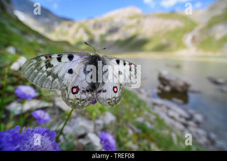Phoebus Apollo, Small Apollo (Parnassius phoebus, Parnassius sacerdos phoebus), sits on a flower in front of mountain scenery, Austria, Hohe Tauern National Park - Stock Photo