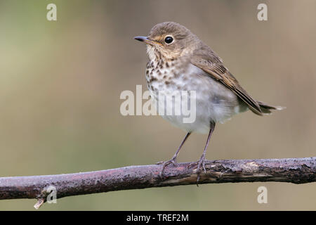 swainson's thrush (Catharus ustulatus), sitting on a branch, USA, Texas - Stock Photo