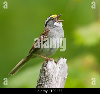 white-throated sparrow (Zonotrichia albicollis), singing male, USA, Maine - Stock Photo