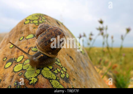 snail on a lichen-covered rock at the Crau, France, Provence - Stock Photo
