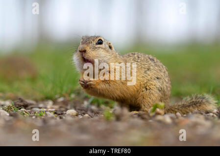 European ground squirrel, European suslik, European souslik (Citellus citellus, Spermophilus citellus), foraging on the ground, side view, Austria, Burgenland, Neusiedler See National Park - Stock Photo