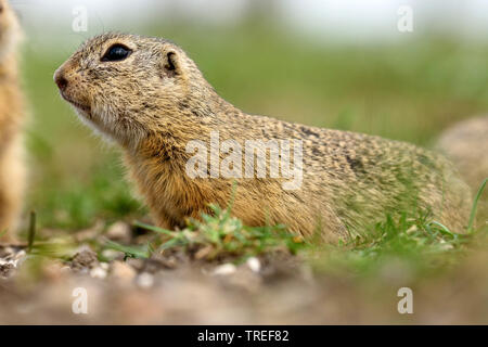 European ground squirrel, European suslik, European souslik (Citellus citellus, Spermophilus citellus), side view, on the ground, Austria, Burgenland, Neusiedler See National Park - Stock Photo