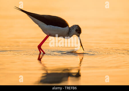 black-winged stilt (Himantopus himantopus), on the feed at sunset, Italy - Stock Photo