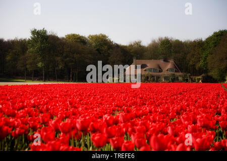 common garden tulip (Tulipa gesneriana), red blooming tulip field, Netherlands - Stock Photo