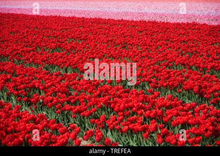 Gartentulpe, Garten-Tulpe, Tulpe (Tulipa gesneriana), bluehendes Tulpenfeld, Niederlande   common garden tulip (Tulipa gesneriana), blooming tulip fie - Stock Photo