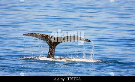 humpback whale (Megaptera novaeangliae), fluke showing out of the water, USA - Stock Photo