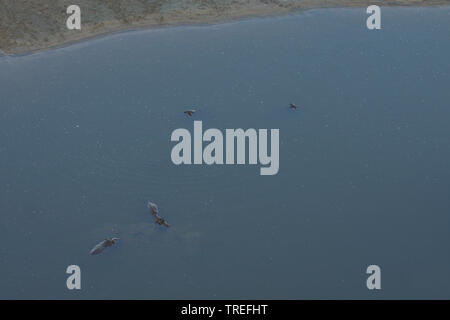 hippopotamus, hippo, Common hippopotamus (Hippopotamus amphibius), aerial view of hippos at the water surface, South Africa - Stock Photo
